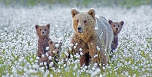 madres-oso-ensenando-a-sus-crias1
