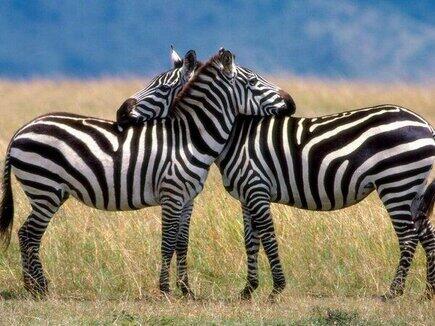 animalesAsí se abrazan las cebras. Increíble.