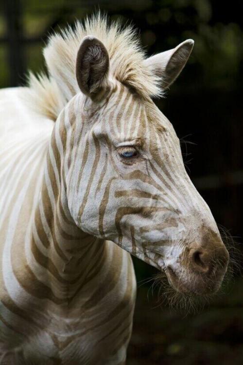 animalesZoe, la única ''Cebra Blanca'' que queda en La Tierra. Tiene ojos azules y rayas doradas.