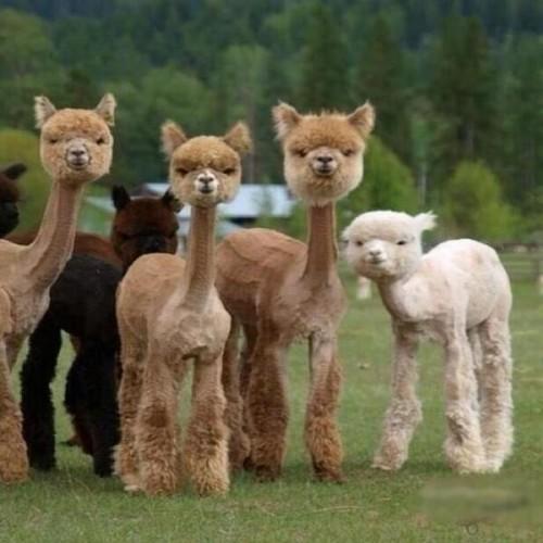 animalesllamas peladas