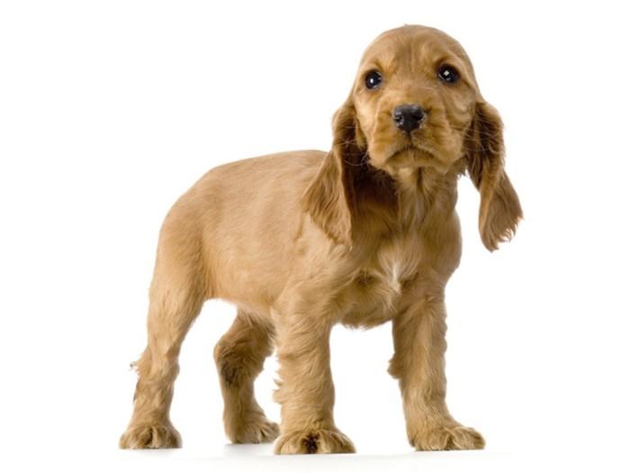 parroerritos-coker-cachorros