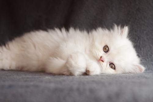 gato-persa-2