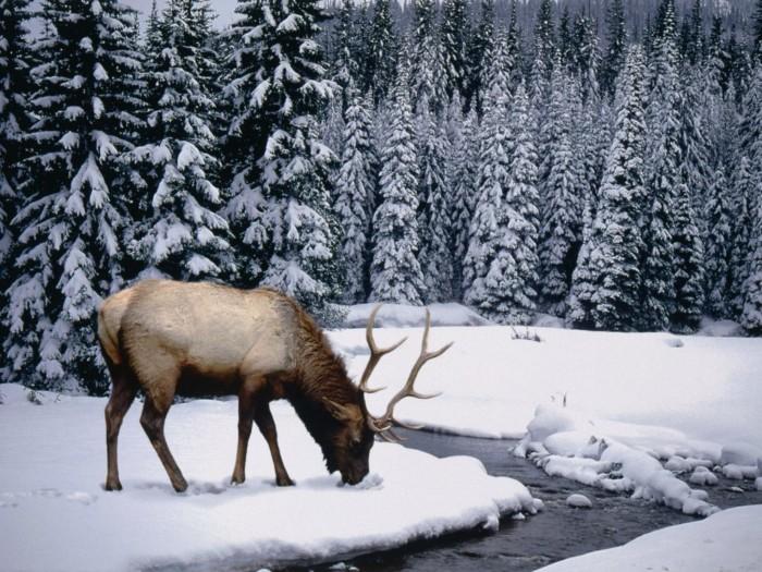 fotos-ciervo-en-invierno