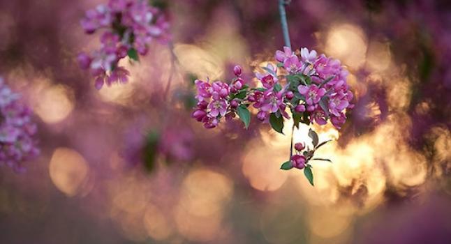 Arb_spring_blooms10_1733 (1)